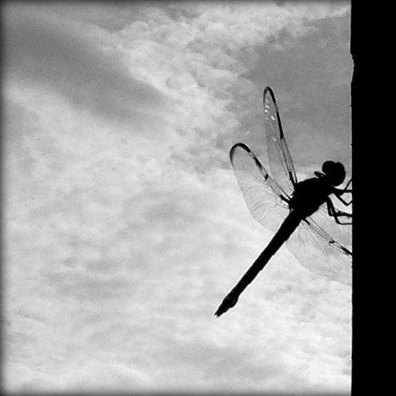 Dragonfly visits N. Charles Street
